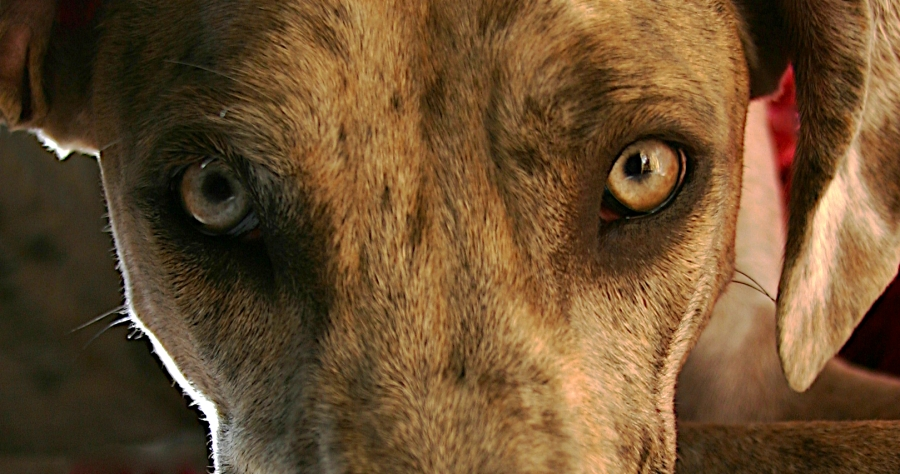 Great Dane eyes