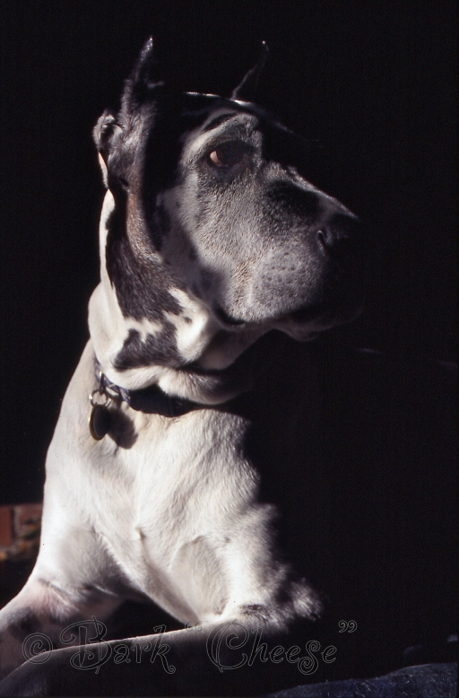 Harlequin Great Dane - Selar