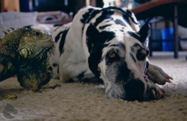 Great Dane and green iguana