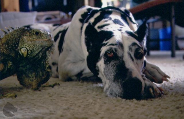 Great Dane and green iguana