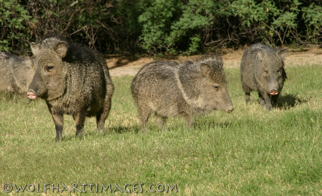 Javelinas at Big Bend NP