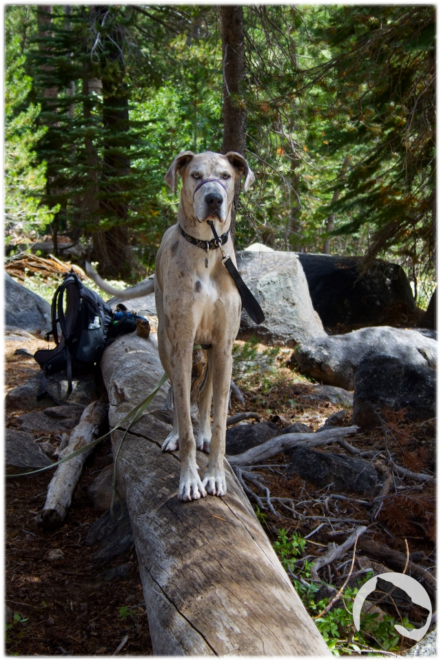 Devils Postpile National Monument, hiking, Great Dane, pet portrait, forest