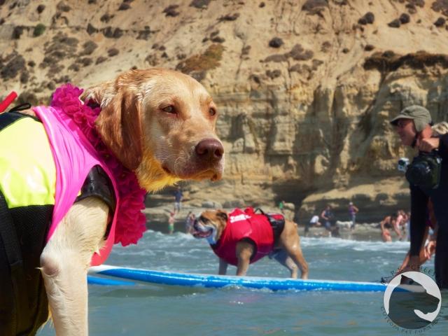 Surf dog Surf-a-thon