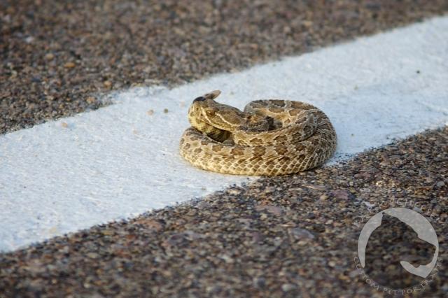 Badlands National Park, Crotalus viridis, Prairie rattlesnake