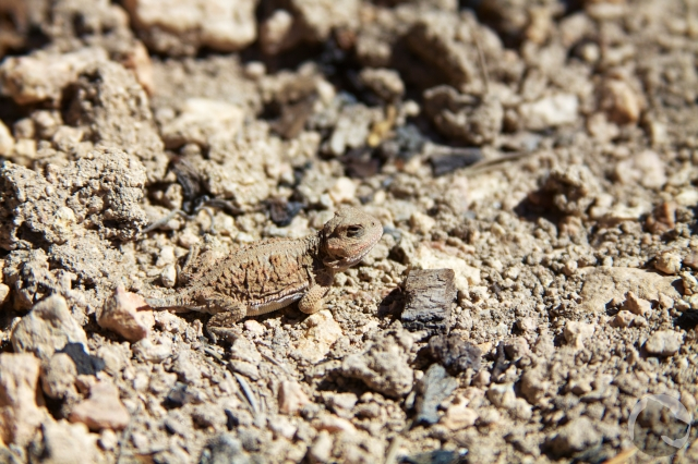 Mountain short-horned lizard, Bryce Canyon National Park