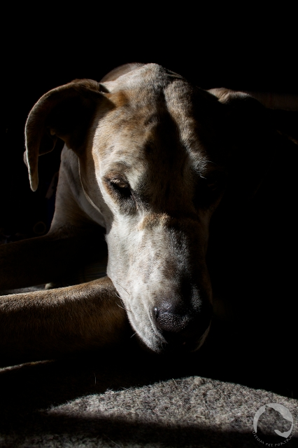 Great Dane, pet portrait, side lit, spot meter, sunlight