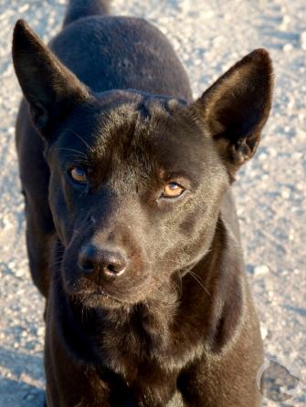 Taiwan dogs, pet portrait, stray dog, black dog