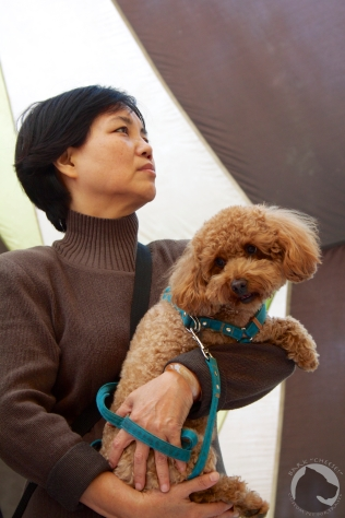 Taiwan dogs, pet portrait, poodle