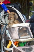 Taiwan dogs, pet portrait, pet stroller