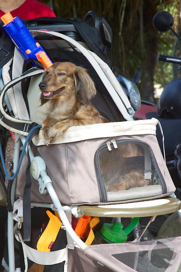Taiwan dogs, pet portrait, pet stroller