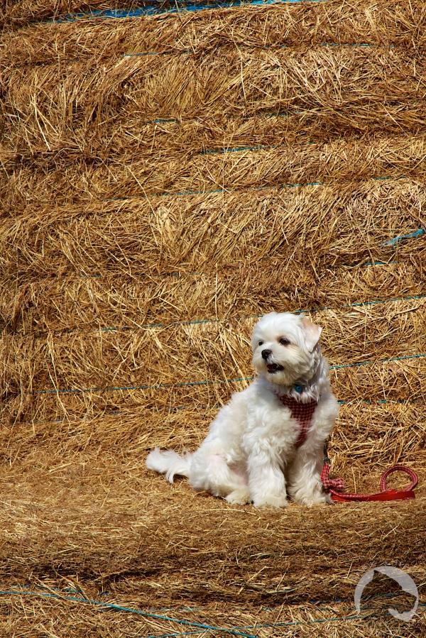 Taiwan dogs, pet portrait, white dog