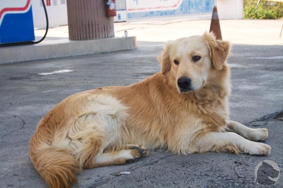 Taiwan dogs, pet portrait, golden retriever