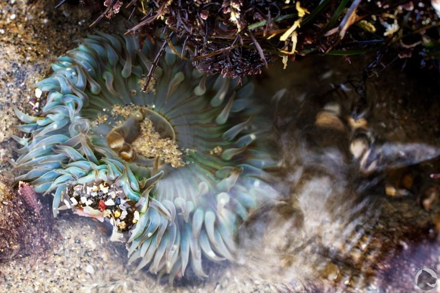 Anthopleura xanthogrammica, cnidaria, giant green anemone, intertidal, invertebrates, lowtide, tidepooling
