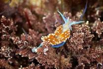 Hermissenda crassicornis, horned aeolid, intertidal, invertebrates, lowtide, mollusca, nudibranch, tidepooling