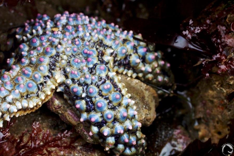 giant-spined sea star, intertidal, invertebrates, lowtide, Pisaster giganteus, sea star, tidepooling